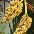 Photos: シュロの花