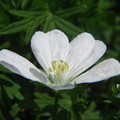 白花アケボノフウロ