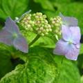 斑入り額紫陽花