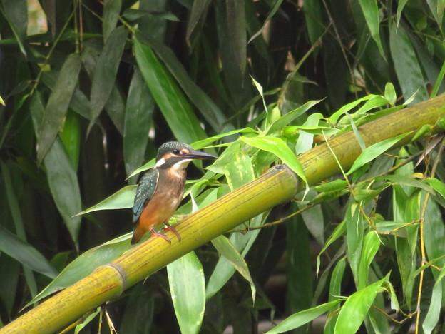竹が好きな幼鳥