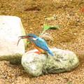小魚ゲット カワセミ