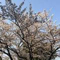 2019市内某所の桜4