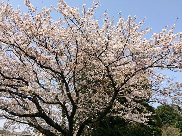 2019市内某所の桜5