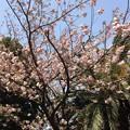 2019市内某所の桜6