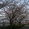 門池公園の桜1