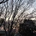 門池公園の桜2