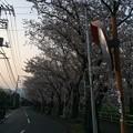 門池公園の桜3