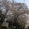 門池公園の桜4
