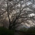 門池公園の桜5