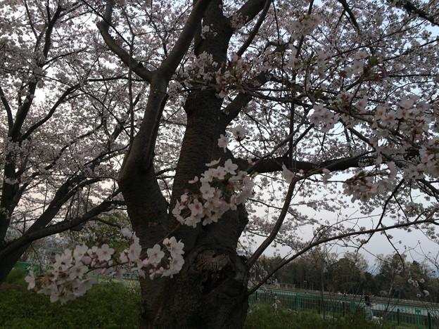 門池公園の桜6