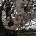 門池公園の桜7