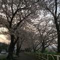 門池公園の桜8