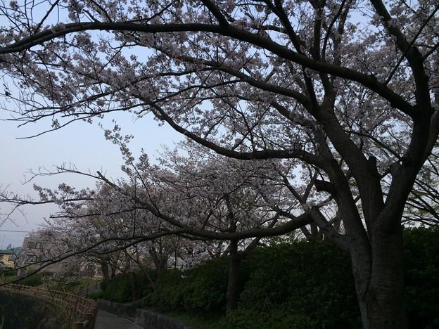 門池公園の桜9