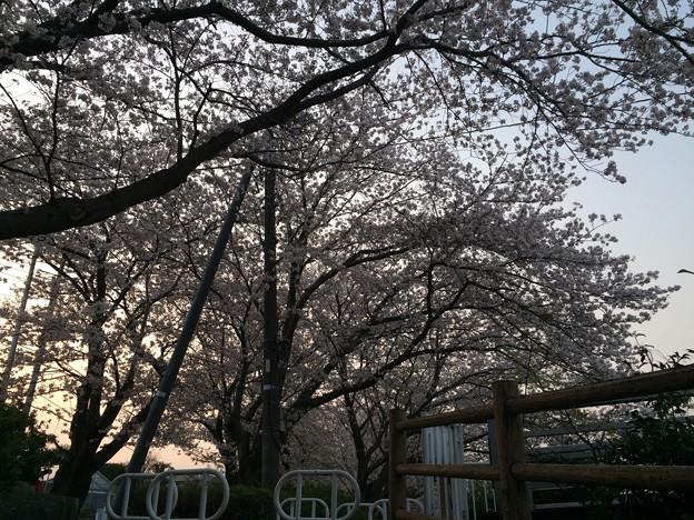 門池公園の桜10
