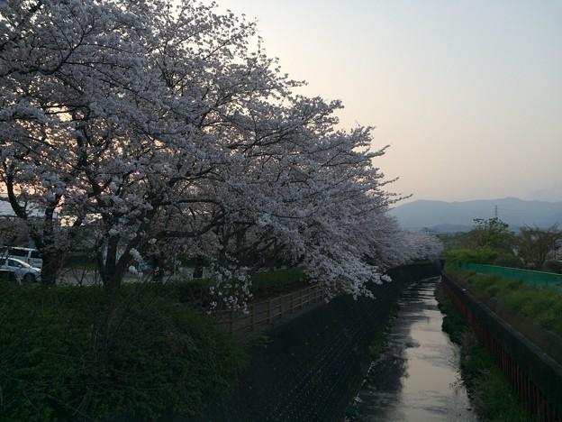 門池公園の桜11
