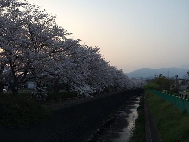 門池公園の桜12