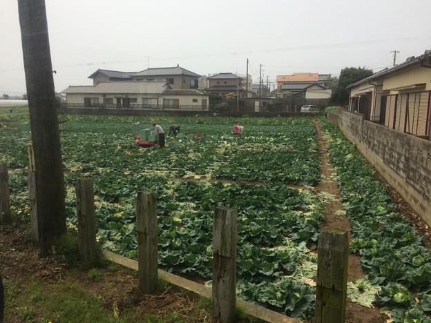 キャベツ畑1 ~西海鹿島駅前~
