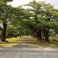 鶴ヶ岡城跡9 ~桜並木?~