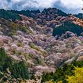 桃色の絨毯