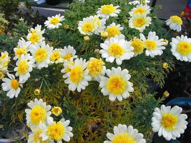 今咲いている花 マーガレット黄
