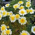 Photos: 今咲いている花 マーガレット黄