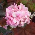 今咲いている花 八重咲ゼラニューム