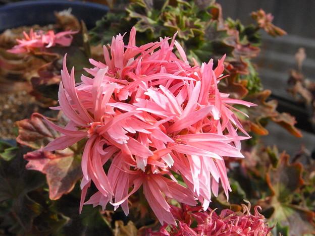 今咲いている花 星咲きゼラニューム