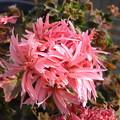 Photos: 今咲いている花 星咲きゼラニューム