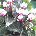 今咲いている花 夏越ししたシクラメン