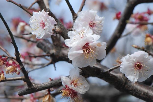 盛りを過ぎた梅の花