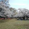 Photos: 桜満開 でも宴会禁止