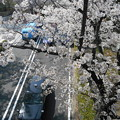 Photos: 車道の上の桜も満開