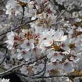 Photos: 桜満開 葉も準備