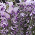 もう咲き始めた藤の花1