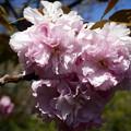 八重桜アップ