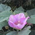 Photos: 芙蓉の花