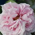 Photos: バラの花弁