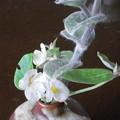 ベゴニア白花瓶