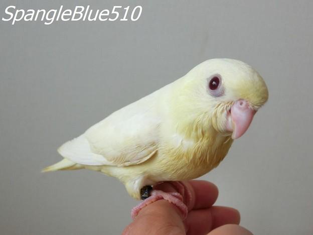 CIMG7575 1024×768 SpangleBlue510