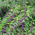 沢山の小紫
