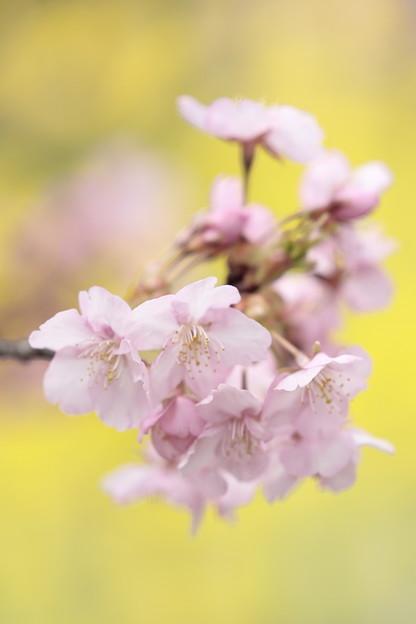 京都・淀水路の河津桜15