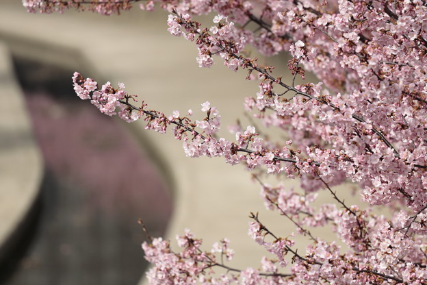 京都・淀水路の河津桜10