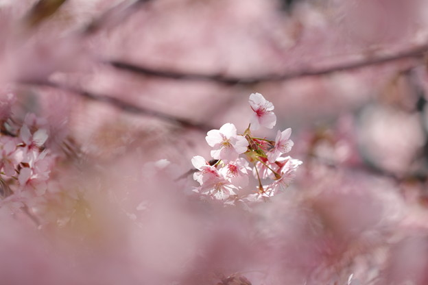 京都・淀水路の河津桜06