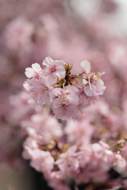 京都・淀水路の河津桜04