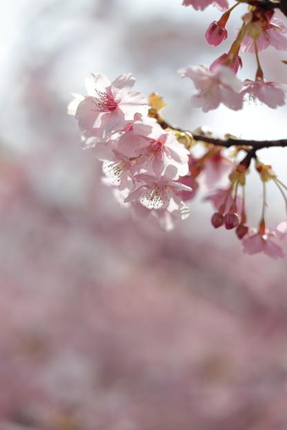 京都・淀水路の河津桜02