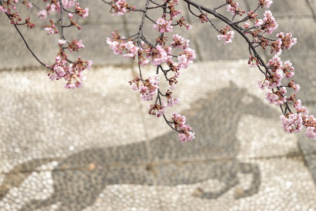 京都・淀水路の河津桜11