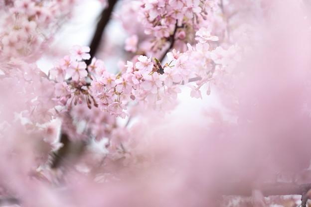 京都・淀水路の河津桜21