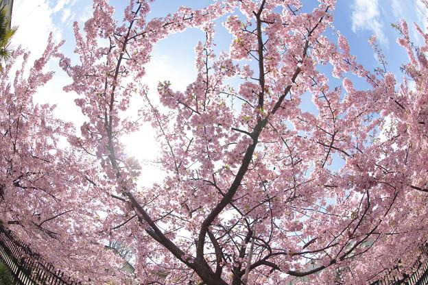 京都・淀水路の河津桜17