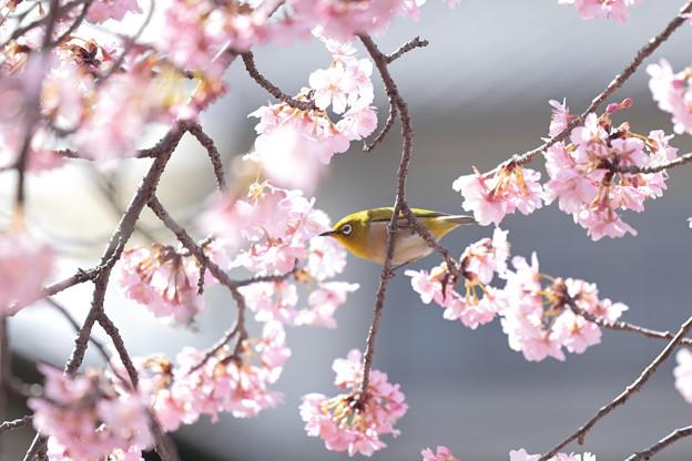 京都・淀水路の河津桜08