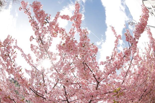 京都・淀水路の河津桜19